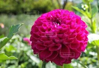 爽やかなピンクのダリアの写真 花のクローズアップの写真・画像素材[3943715]