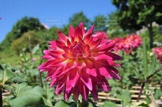 ゴージャスなダリア 花のクローズアップの写真・画像素材[3943778]