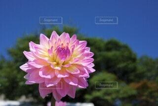 爽やかなピンクのダリアの写真 花のクローズアップの写真・画像素材[3943777]