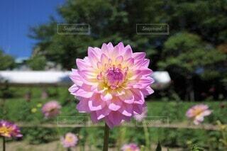 綺麗なピンクのダリア 花のクローズアップの写真・画像素材[3943779]