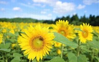 向日葵の写真 花のクローズアップの写真・画像素材[3946492]