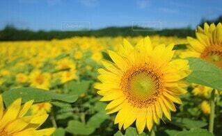 向日葵の写真 花のクローズアップの写真・画像素材[3946489]