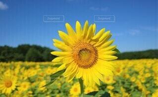 向日葵の写真 花のクローズアップの写真・画像素材[3946497]