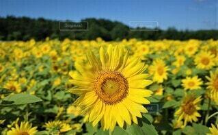 向日葵の写真 花のクローズアップの写真・画像素材[3946498]