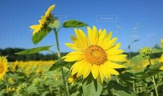 向日葵の写真 花のクローズアップの写真・画像素材[3946514]