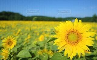 向日葵の写真 花のクローズアップの写真・画像素材[3946516]