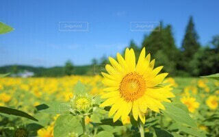 向日葵の写真 花のクローズアップの写真・画像素材[3946517]
