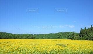 向日葵の写真 花のクローズアップの写真・画像素材[3946519]