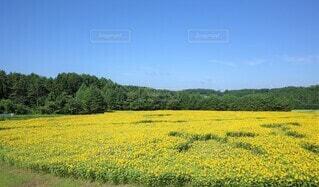 向日葵の写真 花のクローズアップの写真・画像素材[3946521]