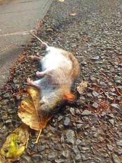死んだネズミさんの写真・画像素材[3952768]