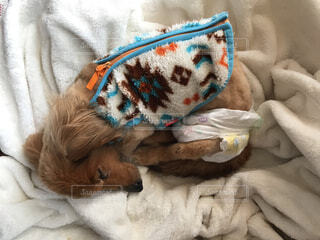 お昼寝中の犬の写真・画像素材[4310312]