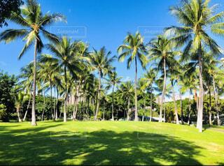ハワイのヤシの木の写真・画像素材[3948996]