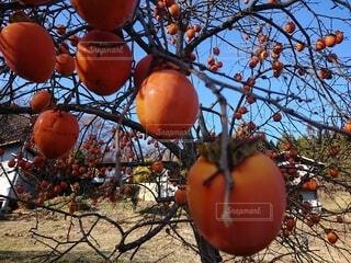 秋の実 柿の写真・画像素材[3952376]