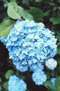 紫陽花のクローズアップの写真・画像素材[4023368]