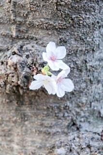 木の中の桜の写真・画像素材[4023388]