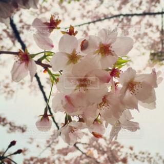 桜の写真・画像素材[545154]
