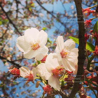桜の写真・画像素材[545155]