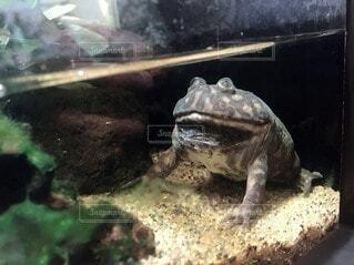 微動だにしないカエルの写真・画像素材[3955088]