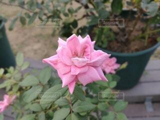 ピンクのバラ(横)の写真・画像素材[4668553]