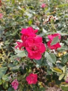 バラ(品種名:ノックアウト)(横)の写真・画像素材[4668591]