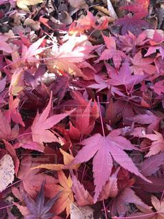 ピンクの花を持つ木のクローズアップの写真・画像素材[3957118]