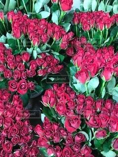 赤いバラたちの写真・画像素材[3964984]