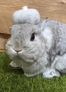 換毛期で抜けた毛で作ったベレー帽を被るうさぎの写真・画像素材[4019823]