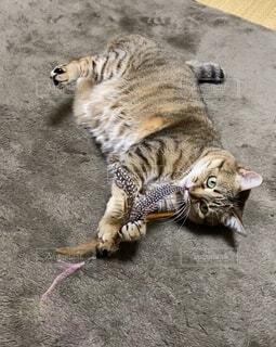 ネコじゃらしで遊ぶネコの写真・画像素材[4022633]