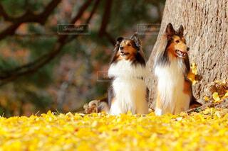 紅葉と犬の写真・画像素材[3962373]