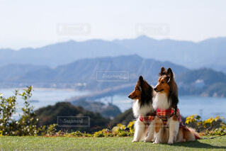 四国を背景にした犬の写真・画像素材[3973408]