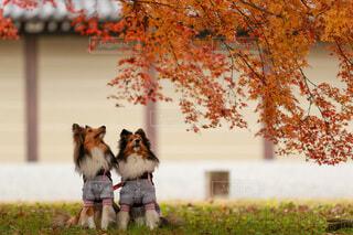 京都の秋と犬森の写真・画像素材[4010482]