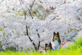 桜とシェルティの写真・画像素材[4022175]