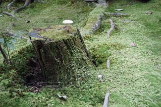 苔の切り株に生えるきのこの写真・画像素材[3968021]