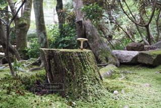 苔の切り株に生えるきのこの写真・画像素材[3968020]