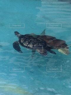 仲良く泳ぐ2匹の亀の写真・画像素材[3968352]