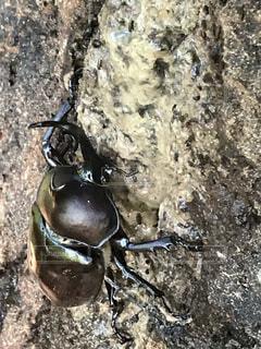 樹液にしがみつくカブトムシの写真・画像素材[4045296]
