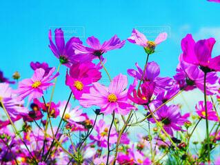 コスモスの花を横からみて青空と一緒に撮影の写真・画像素材[3972758]