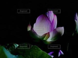 蓮の花の写真・画像素材[3977897]