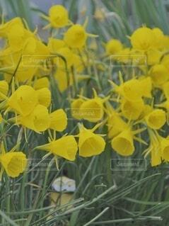 ラッパ水仙とミニオンの写真・画像素材[3979103]