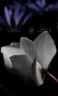 シクラメンの写真・画像素材[4059899]