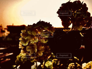 夕陽とオオデマリの写真・画像素材[4249468]