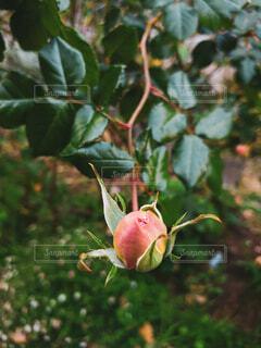 バラの蕾の写真・画像素材[3984678]
