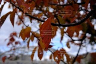 紅葉した葉のクローズアップの写真・画像素材[3984953]