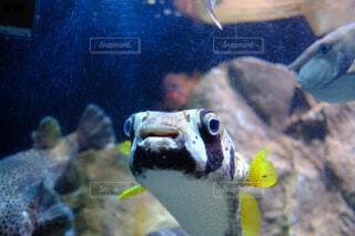 水族館のフグの写真・画像素材[4377182]