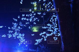 ライトアップされた夜桜の写真・画像素材[4377303]