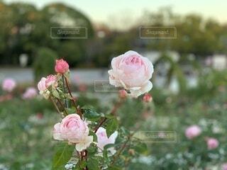 バラ園に咲くピンクローズのアップの写真・画像素材[3982702]