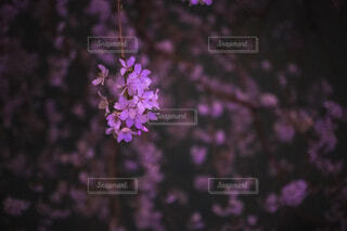 ライトアップされた夜桜の写真・画像素材[4282215]