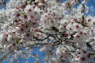 日本の桜、Japanese cherryblossomの写真・画像素材[3987217]