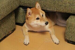 ソファの下でくつろぐ柴犬の写真・画像素材[3996795]