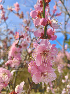 春の訪れを待ちながら咲いた梅の花の写真・画像素材[4192557]